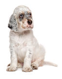 Cute sitting tricolor english setter puppy dog Stock Photo