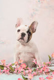 Cute sitting white and brown french bulldog puppy facing the camera on a romantic flower background Stock Image