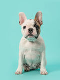 Cute sitting white and brown french bulldog puppy on a mint blue background Royalty Free Stock Images