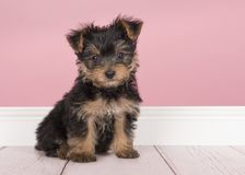 Cute sitting yorkshire terrier, yorkie puppy looking at the came royalty free stock image
