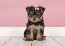 Cute sitting yorkshire terrier, yorkie puppy wearing a pink bow stock photos