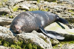 Cute sleep seal on natural rock. Marine animal Royalty Free Stock Photo