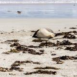 Cute sleeping Australian Sea Lion Neophoca cinerea on Kangaroo Island coastline, South Australia , Seal bay