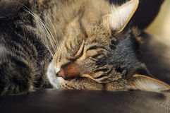 Cute sleeping cat Stock Image