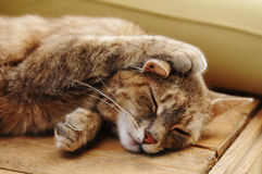 Cute sleeping cat portrait Royalty Free Stock Photography