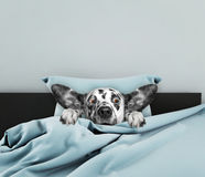 Cute sleeping dog Royalty Free Stock Photo