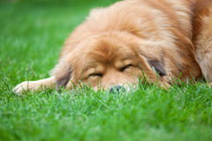 Cute sleeping dog Royalty Free Stock Images