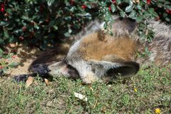 Cute sleeping fox stock image