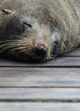 Cute sleeping fur seal on wood floor, at Kaikoura New Zealand Stock Photos