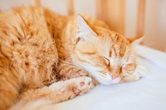 Cute sleeping ginger cat at white bed. concept of calm and cozy comfort of pet. red cat sleeps stock photos