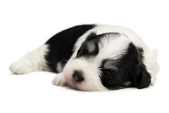 Cute sleeping havanese puppy Stock Image