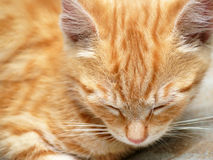 Cute sleeping kitten Stock Image