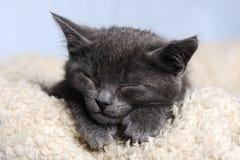 Cute sleeping kitten. Cute grey sleeping kitten close up Royalty Free Stock Photography