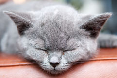 Cute sleeping kitten resting and relaxing, Feline animal. Cute sleeping kitten resting and relaxing, Feline cat animal Stock Photography
