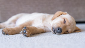 Cute sleeping Labrador puppy stock photo