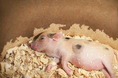 Cute and sleeping little pig in royalty free stock photography