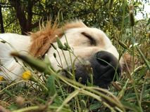 Cute sleeping puppy. Gloden retriever puppy sleeping in the grass Stock Images