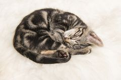 Sleeping tabby kitten curled up on a white fur stock photos