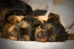 Cute sleeping Yorkshire Terries puppies royalty free stock image