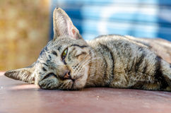 Cute sleepy cat Royalty Free Stock Images