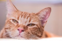 Cute and sleepy cat looks outside unconcerned about camera royalty free stock image