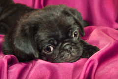 Cute sleepy pug puppy. Cute sleepy black pug puppy Royalty Free Stock Photography