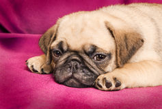 Cute sleepy pug puppy Stock Photos