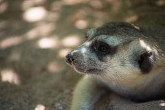 Cute Slender-Tailed Meerkats on  Sand in the zoo Stock Photo