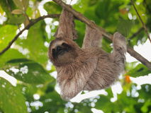 Cute sloth hanging from branch wild animal. Cute sloth, Bradypus variegatus, hanging from a branch in the forest, wild animal, Panama, Central America Stock Photo