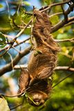 Cute Sloth lazy licking leaves on the tree in Costarica. Sweet animal, Costarican jungle wildlife, animal planet in Central America, amazing exotic vacation stock images