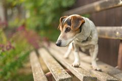 Free Cute Small 13 Years Old Jack Russell Terries  Dog Is Standing On A Park Bench Royalty Free Stock Images - 167002549