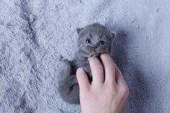 Kitten and woman hand, British Shorthair. Cute small baby cat in woman`s hands, British Shorthair kitten stock photos