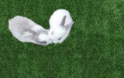 Cute Small Baby Easter Bunny (White and Gray Rabbit) Kissing in Heart like Shape on Grass in The Park at The Corner. With Copyspace, Top View Royalty Free Stock Photos