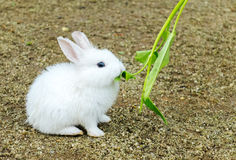 Cute Small Baby Easter Bunny (White Rabbit) Sit and Eat Vegetable Stock Image