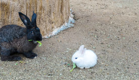 Cute Small Baby Easter Bunny (White Rabbit) Sit and Eat Vegetable on The Ground with Black Rabbit Behind Royalty Free Stock Images