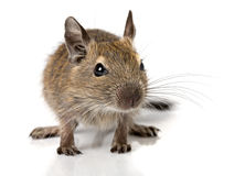 Cute small baby rodent degu pet closeup Stock Images
