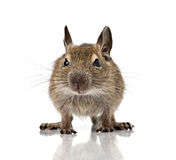 Cute small baby rodent degu pet closeup Stock Photos