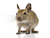 Cute small baby rodent degu pet Royalty Free Stock Photo
