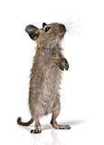Cute small baby rodent degu pet Royalty Free Stock Images