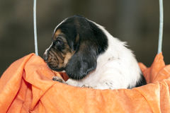 Cute small basset hound puppy Royalty Free Stock Photography