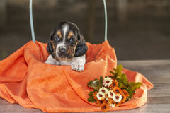 Cute small basset hound puppy Royalty Free Stock Images
