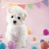 Cute small Bichon Frise puppy. At 9 weeks old sitting on pink colorful background Stock Image