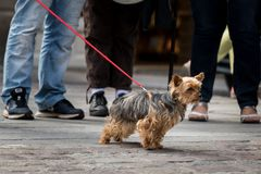 A cute small black, brown dog on the street. On a red leash royalty free stock photos
