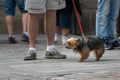 A cute small black, brown dog on the street. On a red leash royalty free stock photography