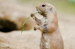 Cute small black-tailed prairie dog eating grass Royalty Free Stock Photo