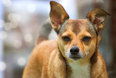 Cute small brown dog outdoor. In winter Royalty Free Stock Images