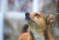 Cute small brown dog with snowfall. Cute small brown dog with snowflakes in winter Royalty Free Stock Photos