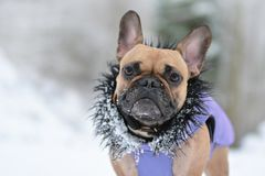Cute small brown French Bulldog dog in purple winter coat with black fur collar in winter snow landscape stock photography