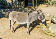 Cute small brown grey asian donkey closeup animal portrait stock photography