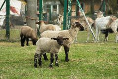 Lambs. Cute small brown and white lambs pasturing on the meadow and more farm animals at the background royalty free stock photography